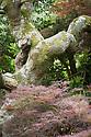 Acer palmatum var. dissectum, late May.
