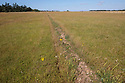 Old plough cleaning line repeated to create areas of bare, disturbed soil, providing favourable conditions for various important plant species. Back from the Brink 'Shifting Sands' project, Suffolk, UK. July.