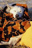 Close up of Jim Lanier's Dog -Uma- & -Grit- Galena