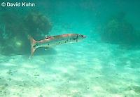 0110-1202  Great Barracuda (Giant Barracuda) in the Caribbean, Sphyraena barracuda  © David Kuhn/Dwight Kuhn Photography