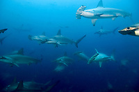 schooling scalloped hammerhead sharks in front of Darwin Island, Galapagos Islands, Ecuador, East Pacific Ocean, Sphyrna lewini