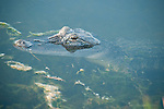 Columbia Ranch, Brazoria County, Damon, Texas; an American Alligator (Alligator mississippiensis) partially submerged at the edge of a lake