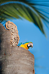 Blue-and-Yellow Macaw or Blue-and-Gold Macaw (Ara ararauna) in nest hole in dead palm trunk. Banks of the Solobra River, Encantado Ecológico Lagoa Azul, near Bom Jardin, Nobres, Mato Grosso, Brazil.