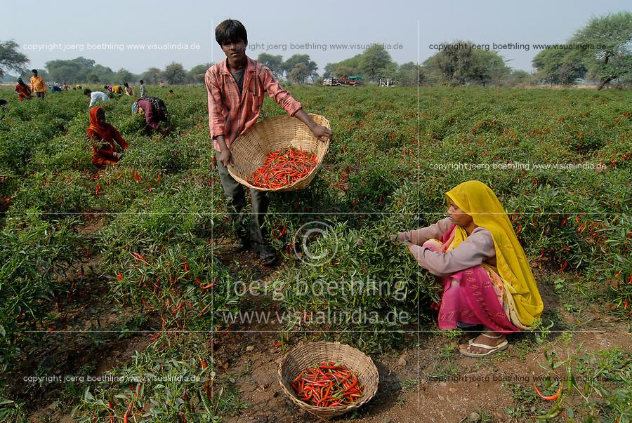 INDIA Madhya Pradesh , harvest of red chilies at farm / INDIEN, Ernte von roten Chilies