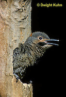 FK20-003z  Common Flicker - 23 day old young  ready to leave  nest cavity of dead tree - Colaptes auratus