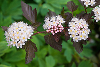 Physocarpus opulifolius 'Coppertina'  shrub in June late spring, flowering shrub with nice foliage . Note that Physocarpus 'Coppertina' aka Mindia is called Physocarpus opulifolius 'Diable D'Or' aka Mindia in Europe.