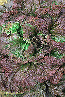 HS21-480x  Lettuce - Red Sails variety - Red Grand Rapids