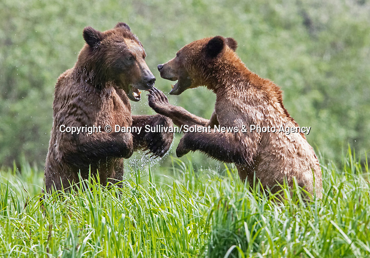 Sequence 2 of 9:  Young bears look like they're dancing as they play fight in the morning sun.  The two animals had just swum across an inlet in the Khutzeymateen Grizzly Bear Sanctuary in Canada's British Colombia when they indulged in some horseplay.<br /> <br /> The images were captured by amateur wildlife photographer Danny Sullivan.  SEE OUR COPY FOR DETAILS.<br /> <br /> Please byline: Danny Sullivan/Solent News<br /> <br /> © Danny Sullivan/Solent News & Photo Agency<br /> UK +44 (0) 2380 458800