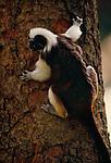 Cottontop tamarin (captive)