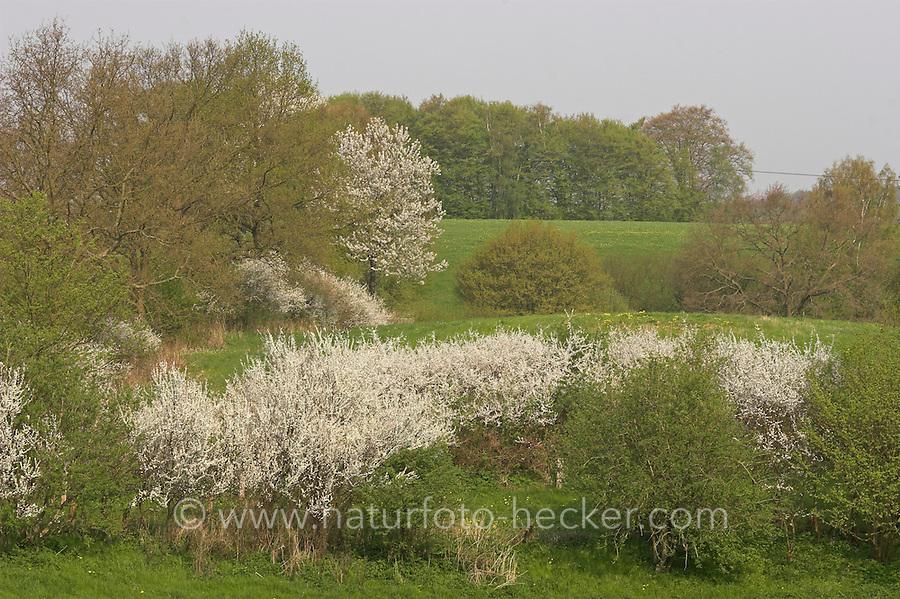 Hecke, Knick, Knicks, Knicklandschaft im Frühjahr mit blühender Schlehe, kleinräumig gegliederte Wiesenlandschaft, hedge