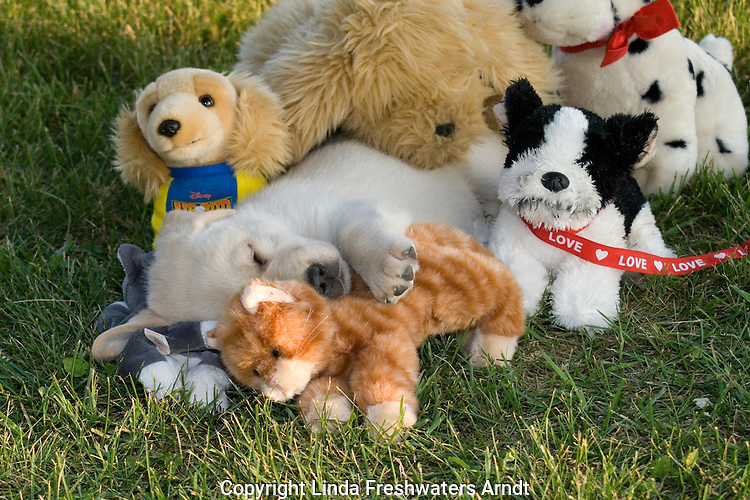 Yellow Labrador retriever (AKC) puppy surrounded by stuffed animals as he sleeps
