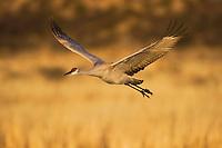 Sandhill Crane (Grus canadensis), adult in flight, Bosque del Apache National Wildlife Refuge , New Mexico, USA,
