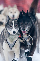 Rob Loveman's lead dogs at the Restart of the 2009 Iditarod in Willow, Alaska