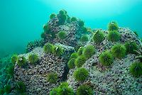 Green Sea Urchin (Lytechinus semituberculatus) on rock, underwater view, Isla San Cristobal, Ecuador, Galapagos Archipelago,