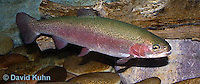 """1214-0904  Rainbow trout or Inland Redband Trout, Oncorhynchus mykiss or Salmo gairdneri """"from New England, United States""""  © David Kuhn/Dwight Kuhn Photography"""