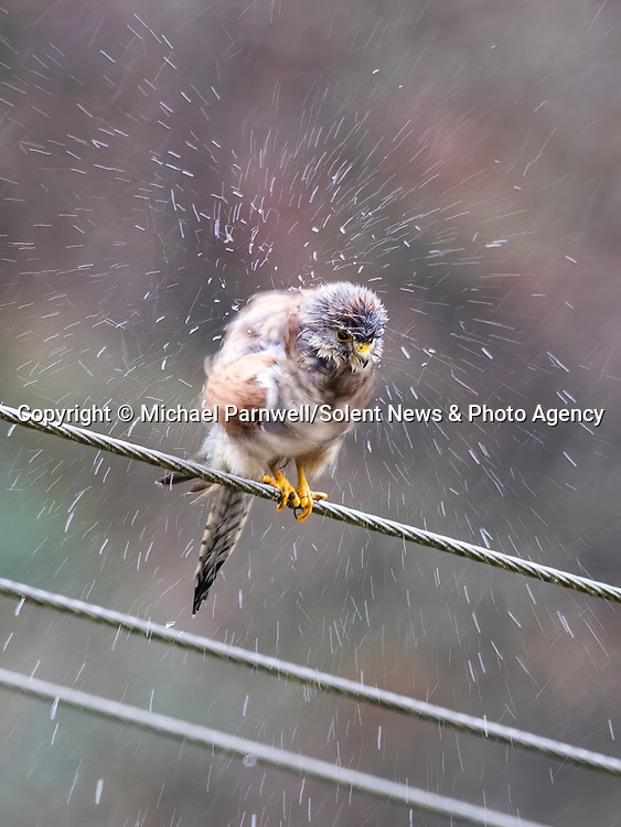 """Pictured:  Shaking the rain off.<br /> <br /> A kestrel appears to 'spin dry' itself by shaking its head vigorously after getting soaked in a downpour.  The bird of prey perches on a thin wire fence and periodically attempts to dry out its sodden feathers.<br /> <br /> The rare bird was photographed by retired university lecturer Michael Parnwell at a spot overlooking Cragg Vale, in West Yorkshire.  Prof Parnwell, 67, who lives in nearby Saltaire, said: """"I had noticed that every few minutes the kestrel would have a shake to dislodge the accumulating rain water, so I waited to try to capture this with a modicum of motion blur.  SEE OUR COPY FOR DETAILS.<br /> <br /> Please byline: Michael Parnwell/Solent News<br /> <br /> © Michael Parnwell/Solent News & Photo Agency<br /> UK +44 (0) 2380 458800"""