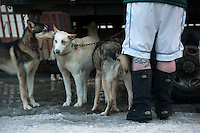 Musher Brian Wilmshurst of Dawson City, Yukon, sports shorts with his snowboots as he readies his dog team at the ceremonial start of the 43rd Iditarod dog sled race in downtown Anchorage. 79 mushers made their way 11 miles through the slushy streets of Anchorage in unseasonably warm weather and early rain. This year's official re-start will begin in Fairbanks because of poor trail conditions in Southcentral Alaska.