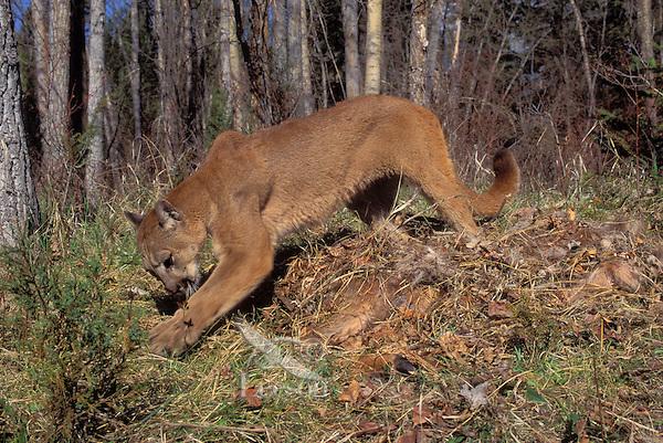 COUGAR/MOUNTAIN LION/PUMA..Female caching a whitetailed deer carcass. Predator/Prey..Rocky Mountains. (Felis concolor).
