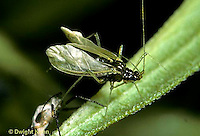 1A15-006z  Aphid - unfolding wings after molting