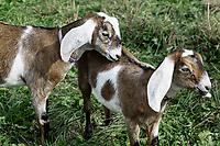 Affectionate goats.