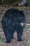 American black bear walking towards camera looking right, full body view.