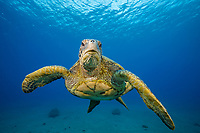 green sea turtle, Chelonia mydas, endangered species, Maui, Hawaii, USA, Pacific Ocean