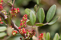 Mastix-Strauch, Blüten, Mastixstrauch, Mastix, Wilde Pistazie, Pistacia lentiscus, Terebinthus lentiscus, Mastic, Mastic Tree, Mediterran, Macchia