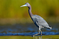 Little Blue Heron (Egretta caerulea). Myakka River State Park, Florida. March.
