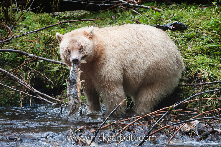 Adult Spirit / Kermode Bear (Ursus americanus kermodei) - white morph of the Black bear- by stream fishing for salmon. Gribbell Island, Great Bear Rainforest, British Columbia, Canada, October.