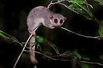Ankarana Dwarf Lemur (Cheirogaleus shethi) in forest understory. Ankarana Reserve forests, northern Madagascar.