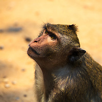 Macaque monkey close-up with blurred yellow background, in the ancient UNESCO heritage Khmer Angkor Wat temple, Siem Reap, Cambodia Southeast Asia