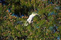 Sulfur-Crested Cockatoo, Dubbo Crv Pk, NSW, Australia