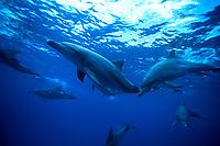Indo-Pacific bottlenose dolphin, Tursiops aduncus, Bonin Islands, Ogasawara, Tokyo, Japan, Pacific Ocean