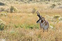 Pronghorn Antelope (Antiloapra americana) buck.  Western U.S., September.