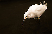 With speed and accuracy a Snowy egret's head darted into the water and captures a small fish and a bit of a twig or grass.