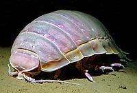 Giant isopodl, Bathynomus giganteus, Subphylum Crustacea, Class Malacostraca, Family Cirolanidae, Deep sea Atlantic Ocean