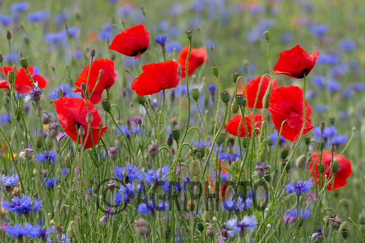 1-7-2021  Wild flower margin <br /> ©Tim Scrivener Photographer 07850 303986<br />      ....Covering Agriculture In The UK....