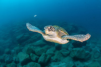 green sea turtle, Chelonia mydas, South Tenerife, Canary Island, Spain, Atlantic Ocean