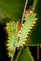 0912-0810  Oculea Silkmoth Caterpillar, 2nd Instar, Oculea Silkmoth, Antheraea oculea © David Kuhn/Dwight Kuhn Photography.