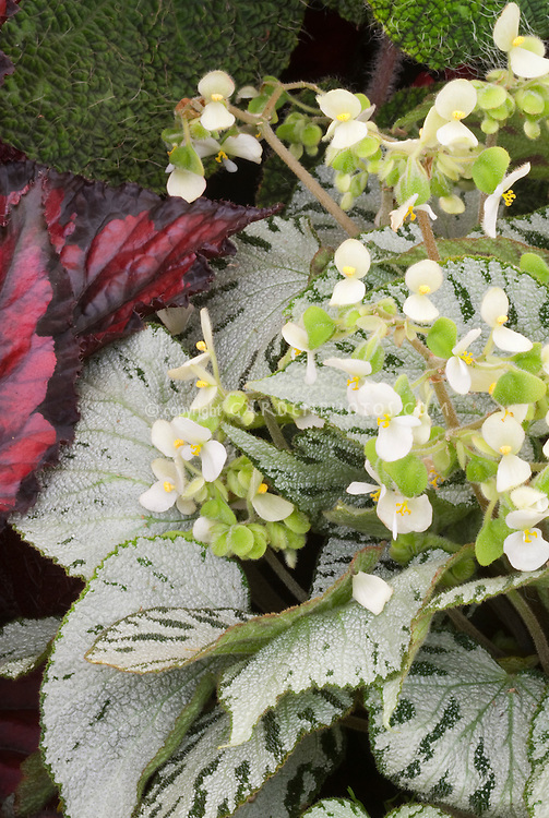 Begonia imperialis Siver Jewel in white flower with ornamental foliage in silver and green