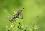 Red-winged Blackbird female, sitting over a pool of water