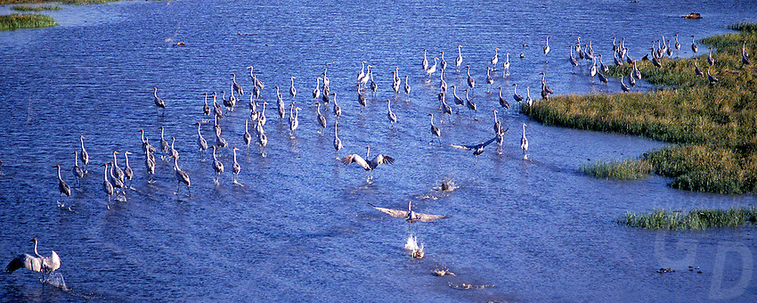 Large congregation of Brolgas (Grus rubicunda)on the Floodplains of the Northern Territory,Australia