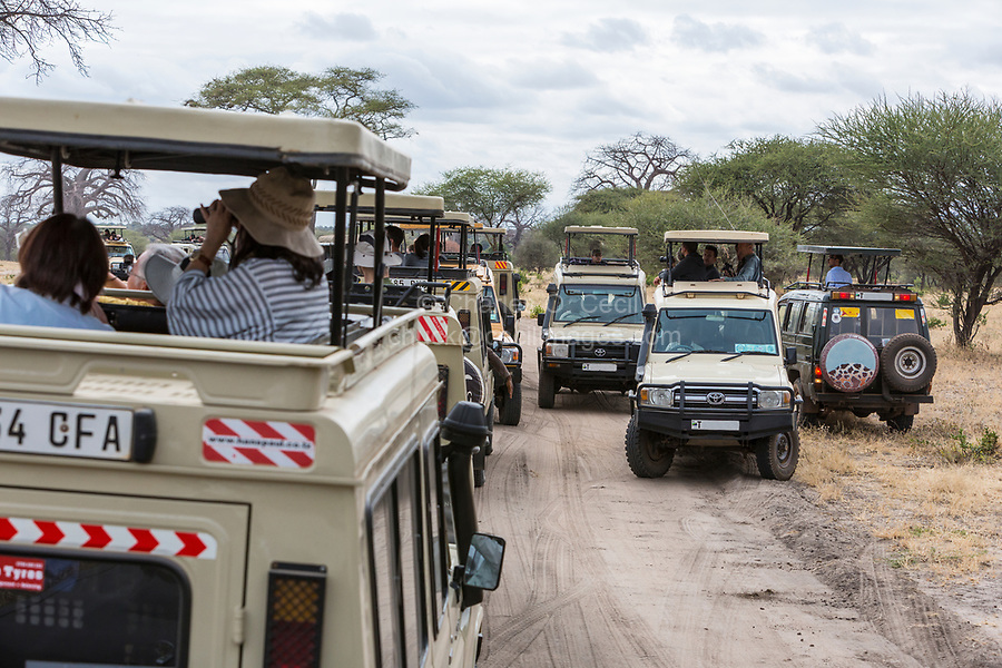 Tanzania. Tarangire National Park.  Vehicles Line up to See a Lion Off-road.