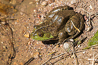 American Bullfrog, Rana catesbeiana, in Patagonia Lake State Park, Arizona