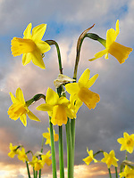 Daffodils growing