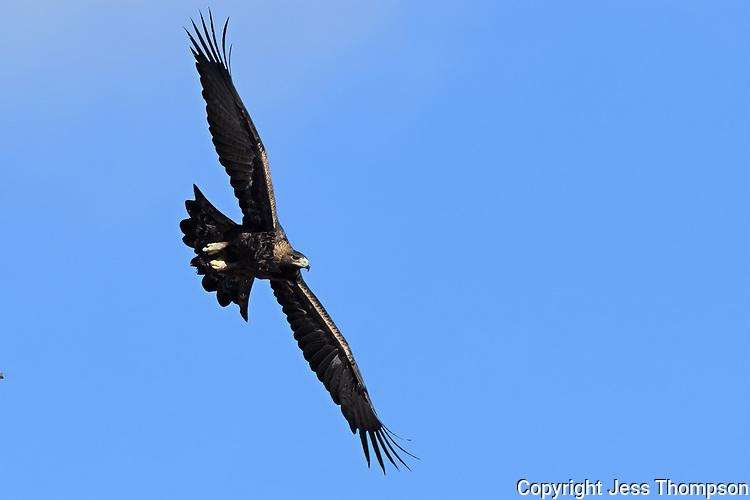 Golden Eagle, Wyoming roadside