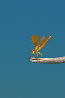 304570006v a wild mexican amberwing dragonfly perithemis intesa perches on a branch near el centro imperail county california united states
