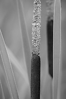"""Cattails"" - B&W<br />
