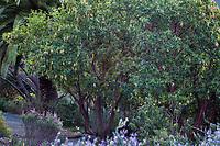 Arbutus unedo, Strawberry tree beginning to flower  in drought tolerant garden; Leaning Pine Arboretum, California garden