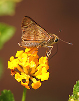 Fawn-spotted skipper on lantana
